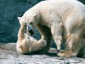 Polar bear cub and mother, Roger Williams Zoo, Providence, Rhode Island, 2001.