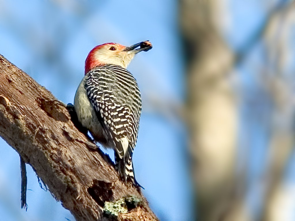 Red-bellied Woodpecker at Mason's Neck National Wildlife Refuge south of Alexandria, Virginia, 2002.  Click for next photo.
