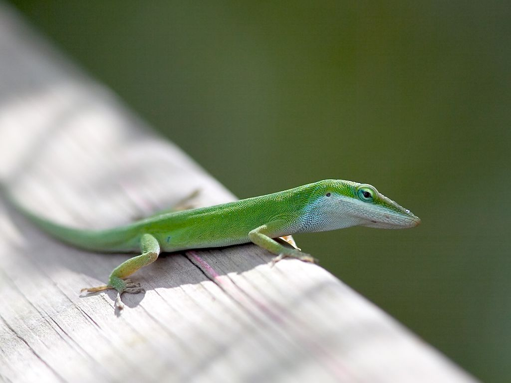 A little lizard called a Green Anole walks the boardwalk in Grassy Waters Preserve, West Palm Beach. Dec. 24, 2002.  Click for next photo.