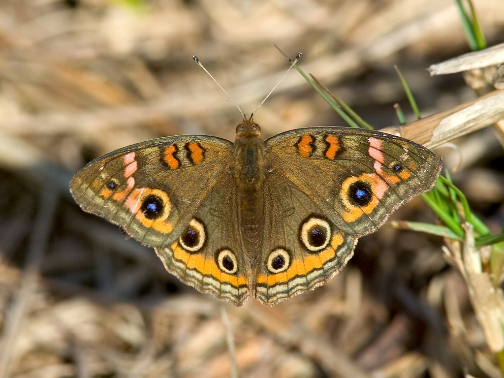 Today's butterfly, a Common Buckeye. Dec. 25, 2002.  Click for next photo.