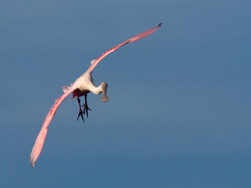 A spoonbill looks for a place to land. Dec. 26, 2002.  Click for next photo.