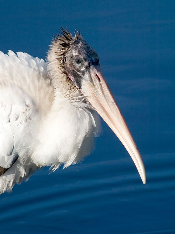 Wood Stork. Dec. 26, 2002.  Click for next photo.