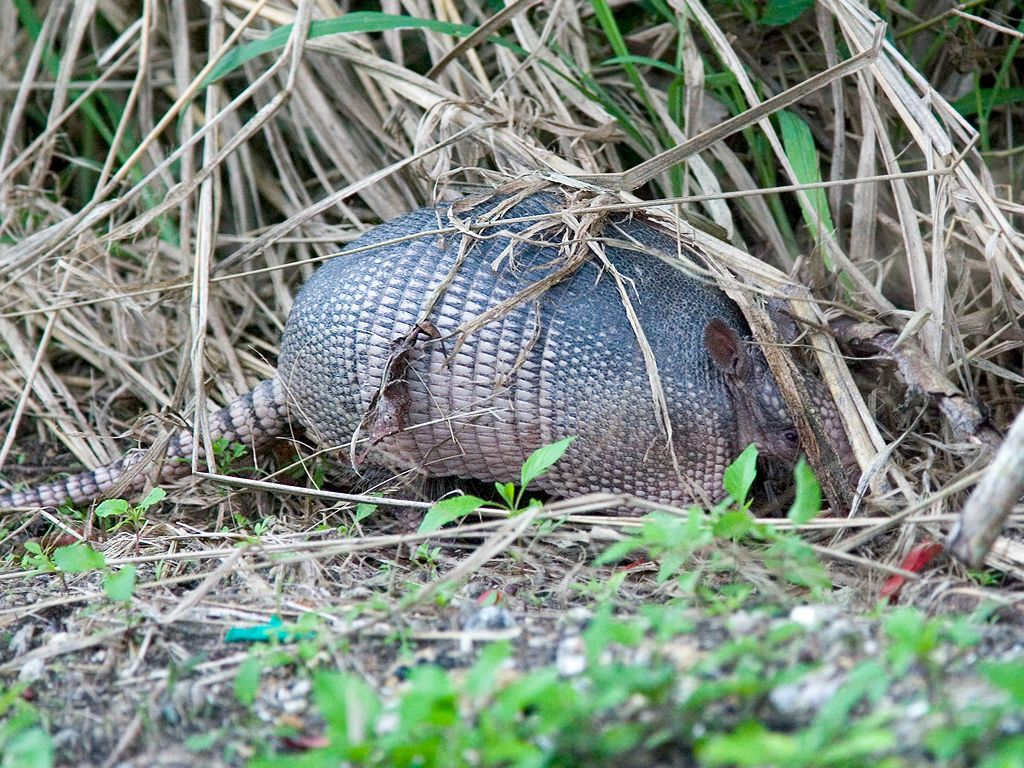 Armadillo on Pine Island. Dec. 26, 2002.  Click for next photo.