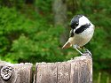 Chickadee, S330 on a tether, my back yard.