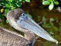 A Brown Pelican sails past. Dec. 22, 2002.