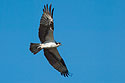 An osprey on Merritt Island. Dec. 26, 2002.