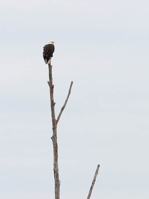 Eagle perched on dead tree at Blackwater NWR, Maryland, 2003.  This tree is visible from the Visitor Center and the several times I have been there, there always seems to be an eagle perched there.  Click for next photo.