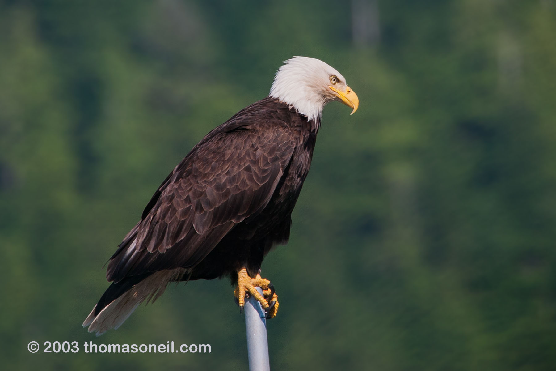 Bald eagle in Petersburg, Alaska, 2003.  Click for next photo.