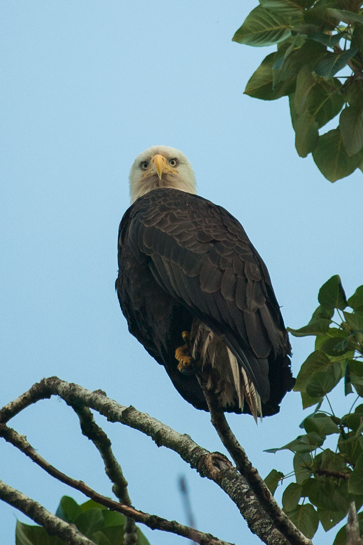 Bald eagle in Petersburg.  Click for next photo.