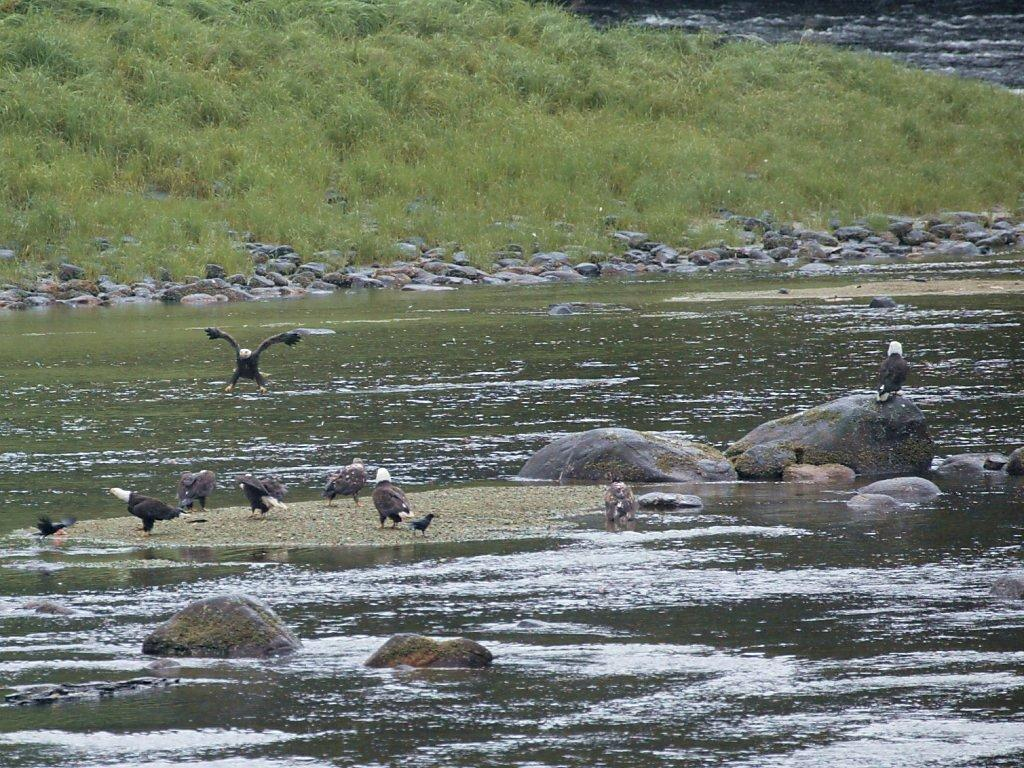 Not a great photo but there are eight bald eagles in this image taken near the boat landing at Anan Creek, Alaska.  Unfortunately our path didn´t take us any closer.  Click for next photo.