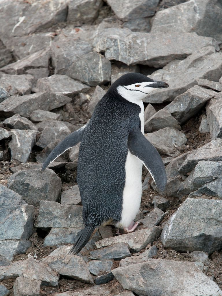 Chinstrap penguin, Half Moon Island, Dec. 2.  Click for next photo.