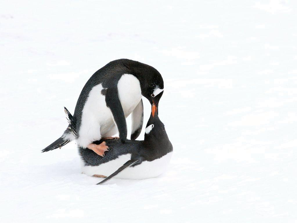 does penguins have sex for pleasure