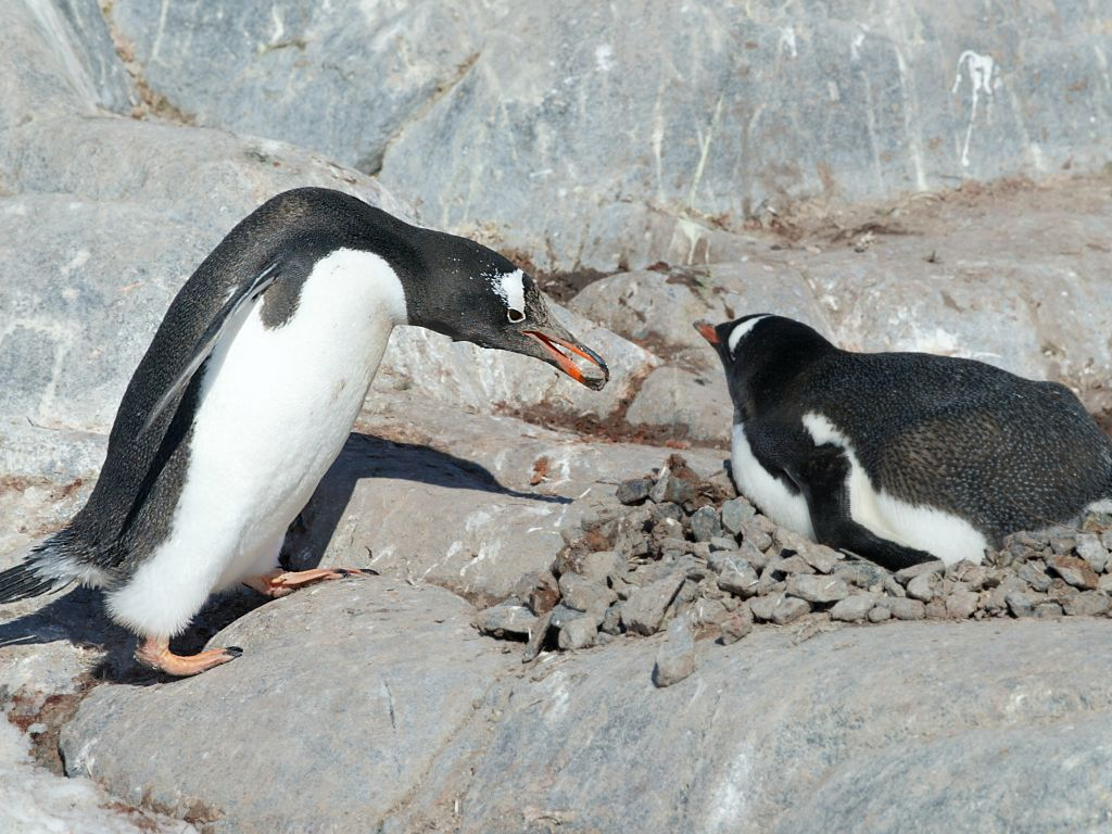 Penguins spend a lot of time finding rocks for their nests, Jougla Point, Dec. 4.  Click for next photo.