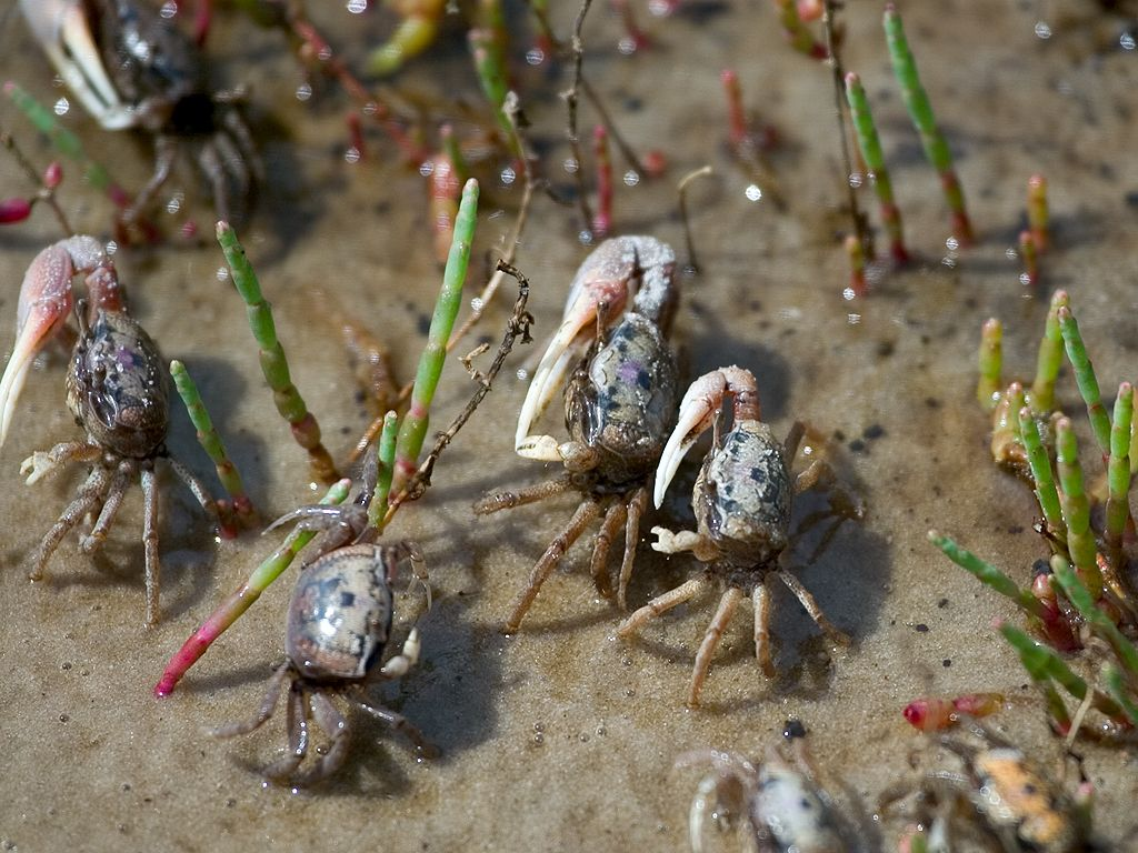 Ghost crabs.  Click for next photo.