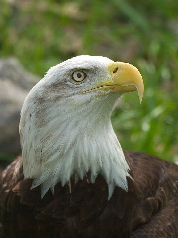 Captive bald eagle, Florida 2003.  Click for next photo.