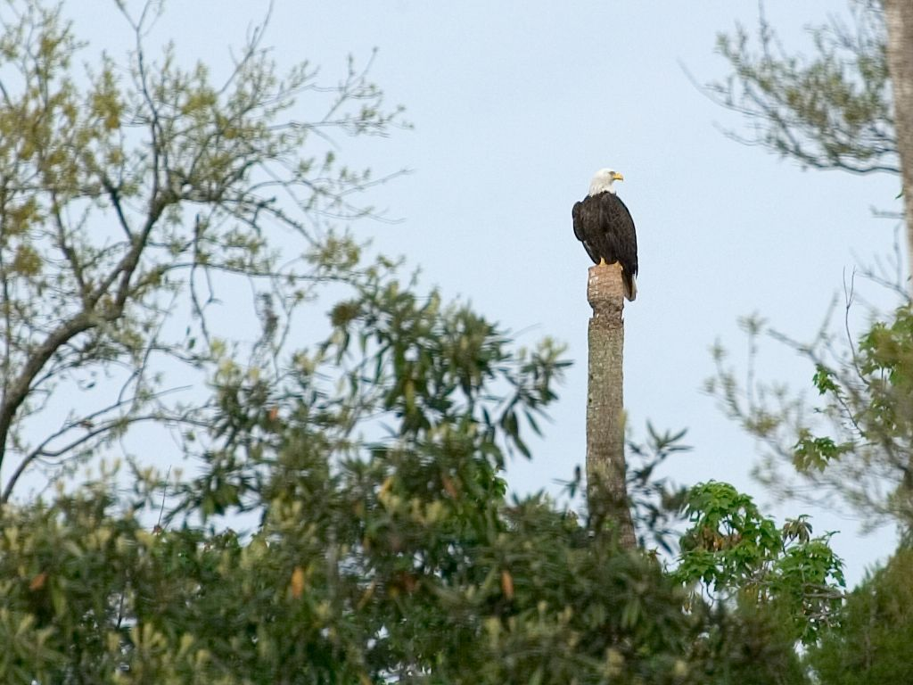 Not a good view of a bald eagle, but about as close as I got in Florida, March 2003.  Click for next photo.