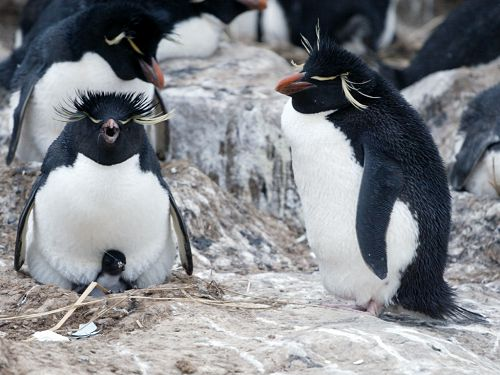 Rockhopper chick under parent, New Island, Falklands, Dec. 8.