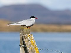Artic Tern on a fencepost near Myvatn.