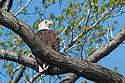 Eagle at Eastern Neck National Wildlife Refuge near Rock Hall, Maryland.