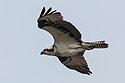 Osprey with a fish, Blackwater NWR, Maryland, 2003.