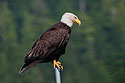 Bald eagle in Petersburg, Alaska, 2003.