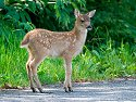 Black-tailed deer fawn near Petersburg.