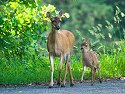 Fawn and mother near Petersburg.