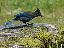 Steller's Jay near Petersburg, Alaska. It looks like a black and blue cardinal.