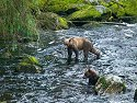 Brown bear juveniles head downstream.