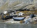 More harbor seals, this time in Misty Fjords National Monument.