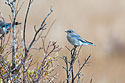 Mountain Bluebird (female), Yellowstone, 2003.