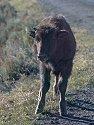 Yellowstone bison calf, 2003.