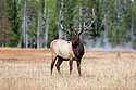 Bull elk scans the horizon in Yellowstone, 2003.