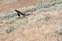 Harrier hawk, Yellowstone, 2003.