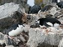 Chinstrap penguins nesting, Half Moon Island, Dec. 2.