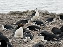 Another example of different types of birds nesting together, a macaroni penguin mixed in with the chinstraps, Hannah Point, Dec. 2.