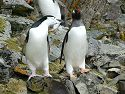 Chinstrap takes a peck at a Gentoo after getting crowded on the trail, Hannah Point, Dec. 2.