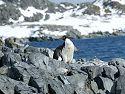 Adelie penguin, Torgersen Island, Dec. 4.