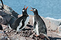 Gentoo penguins greet each other, Jougla Point, Dec. 4, 2003.