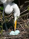 An egret takes a break from sitting on the eggs to turn the eggs and rearrange twigs. St. Augustine, March 2003