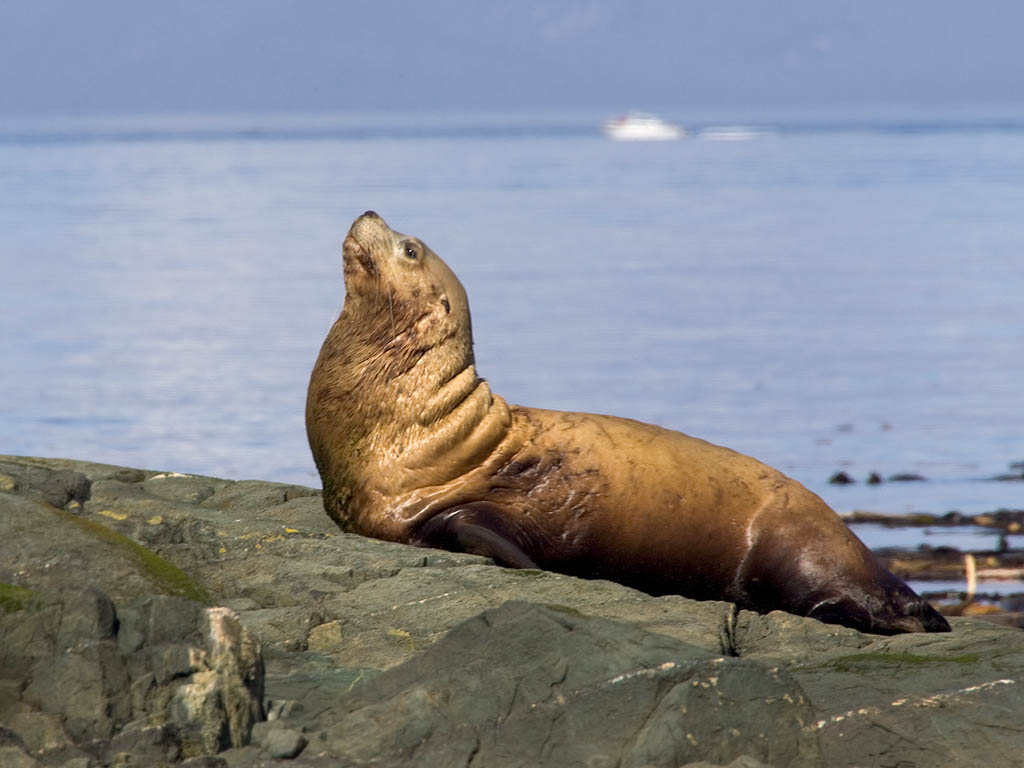 Stellar Sea Lion, British Columbia, September 2004.  Click for next photo.