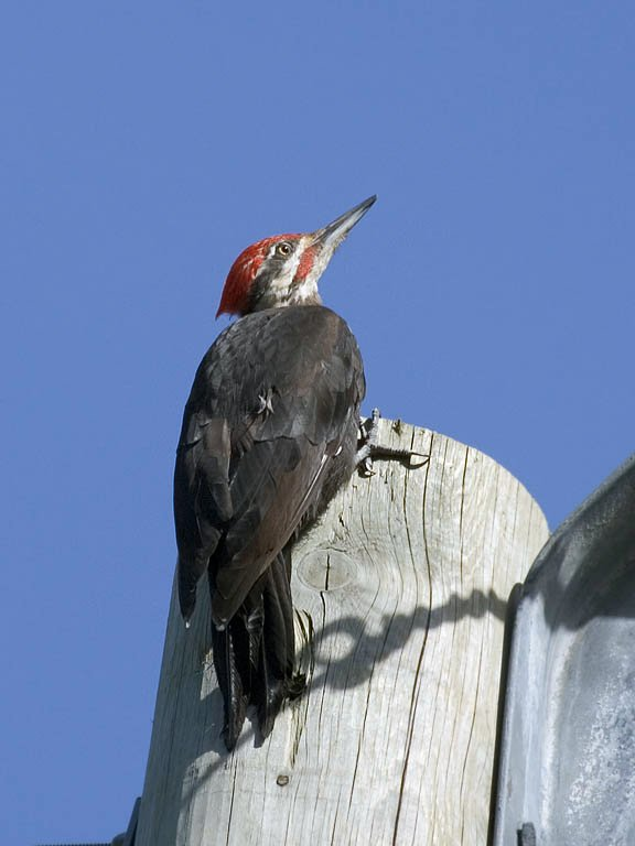 Pileated woodpecker, Quadra Island, British Columbia, September 2004.  Click for next photo.