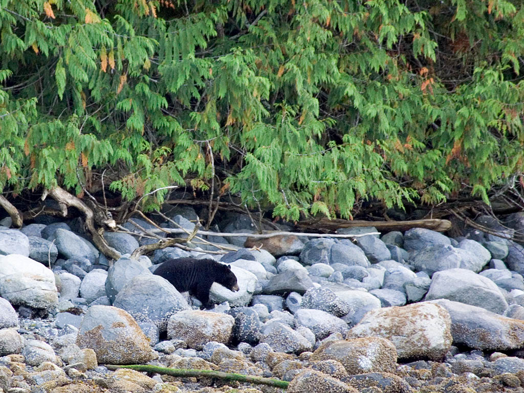 Black bear on the shore near Knight Inlet, British Columbia, September 2004.  Click for next photo.