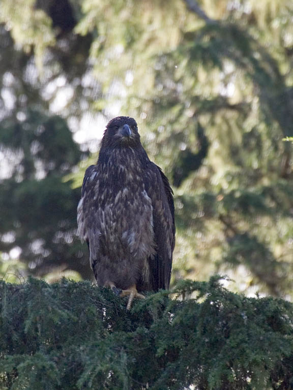Young bald eagle, Knight Inlet, British Columbia, September 2004.  Click for next photo.