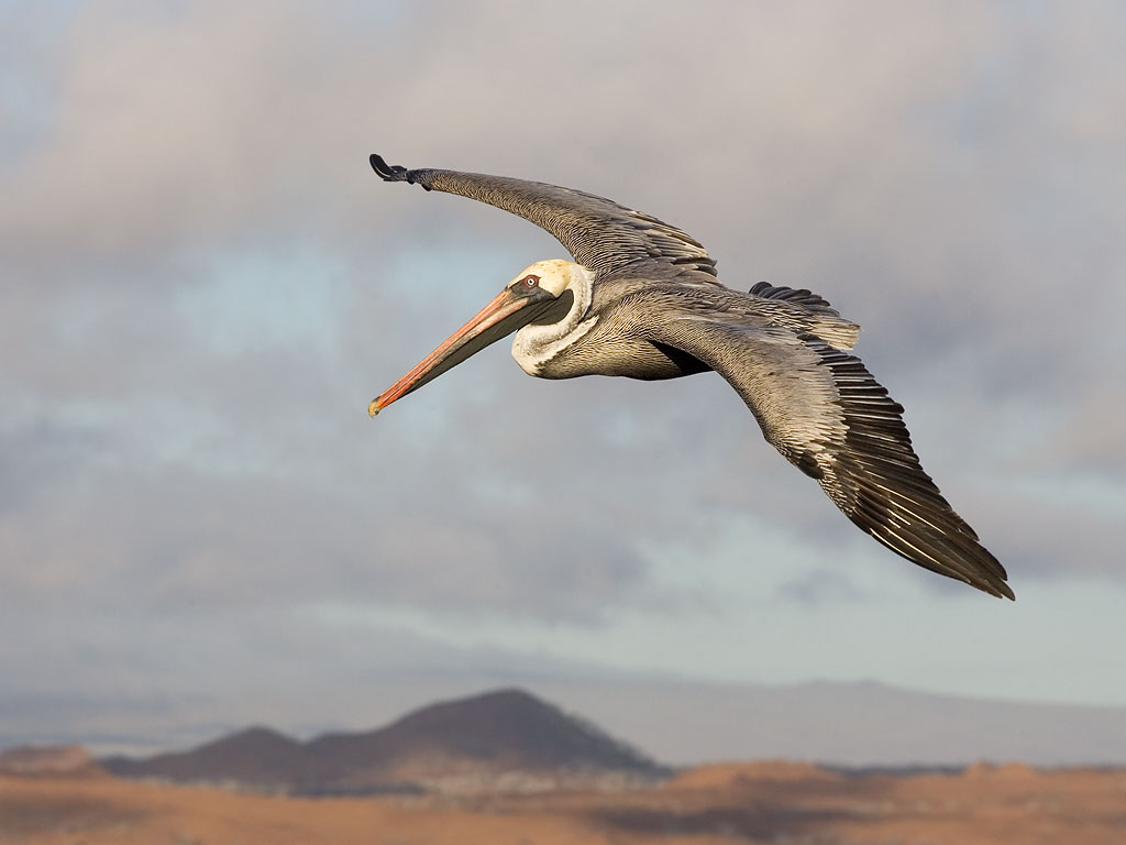Brown Pelican, Bartolome Island, Galapagos, Dec.17, 2004.  Click for next photo.