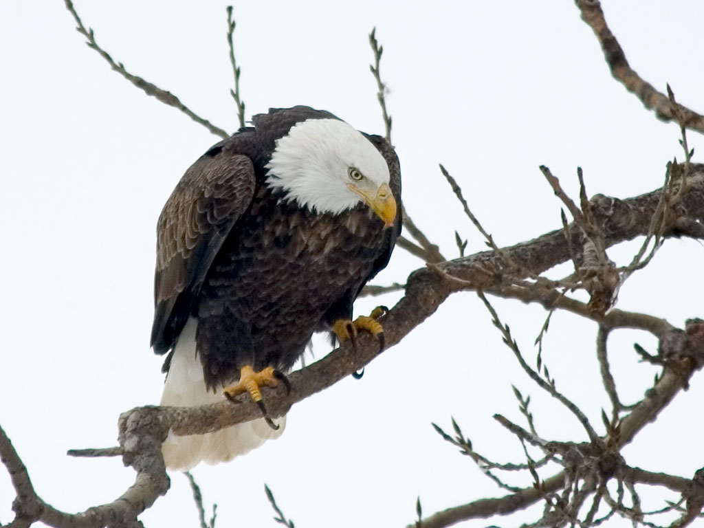 Bald eagle, Keokuk, Iowa, Feb. 1, 2004.  Click for next photo.