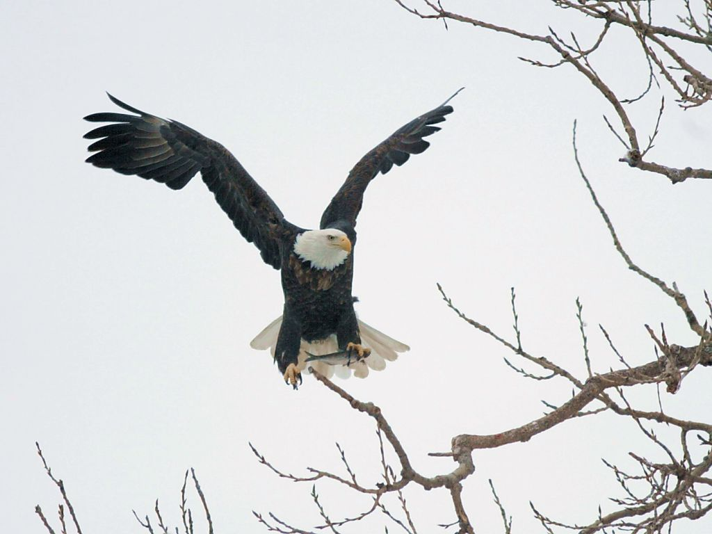 Eagle finds a place to dine on a fish.  Click for next photo.