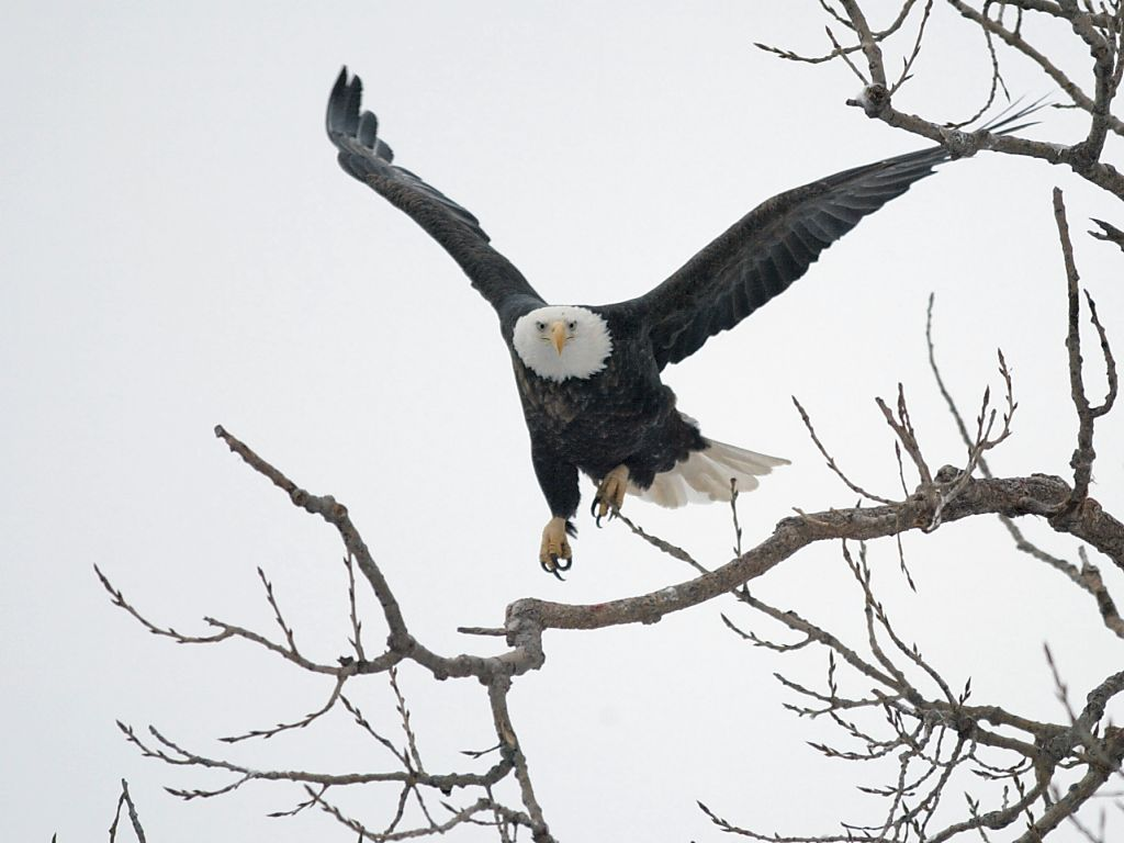 Eagle finds a convenient perch in Keokuk.  Click for next photo.