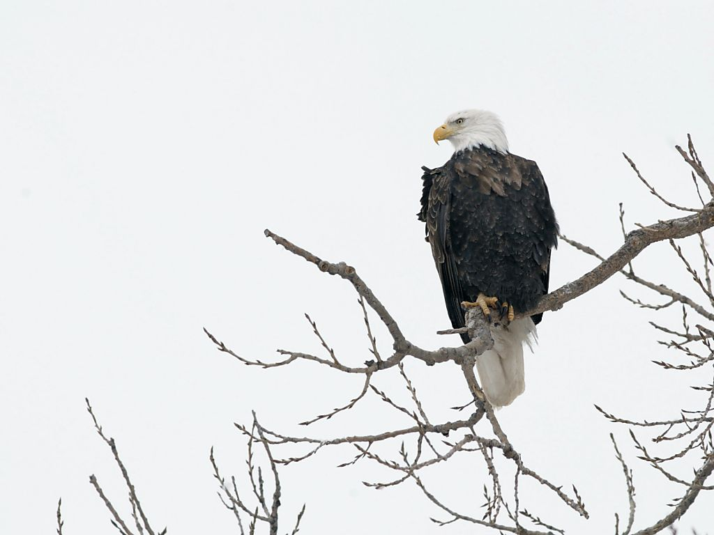 Keeping an eagle eye on what´s going on down on the river.  Click for next photo.