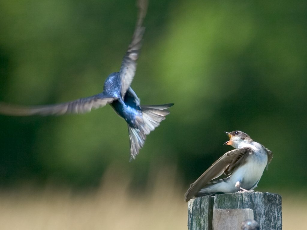 A tree swallow and a barn swallow compete for a landing spot, Daniel Webster Wildlife Sanctuary (Mass Audubon), Marshfield, Mass. 2004.  Click for next photo.
